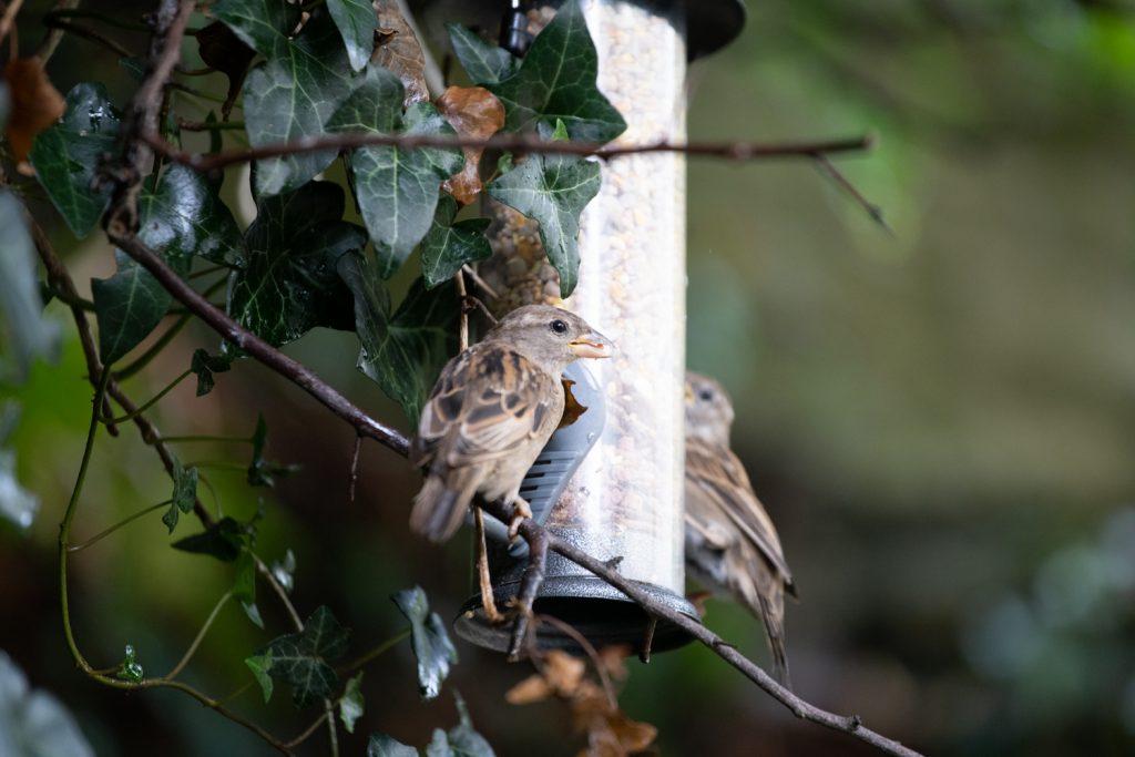 Two female sparrows on a bird feeder in our garden