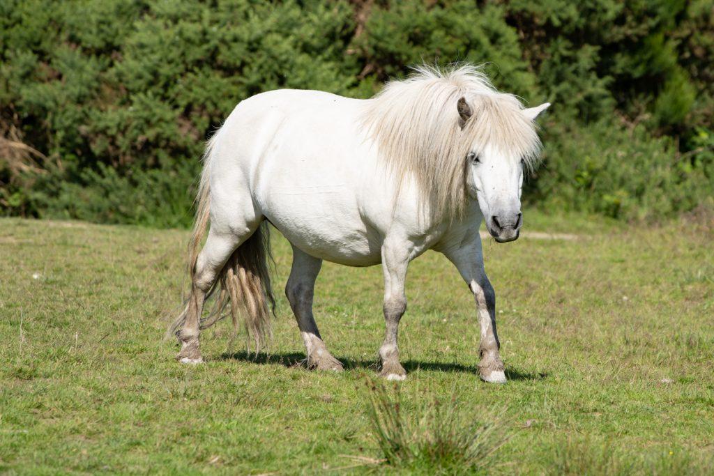 A White Pony on Goss Moor