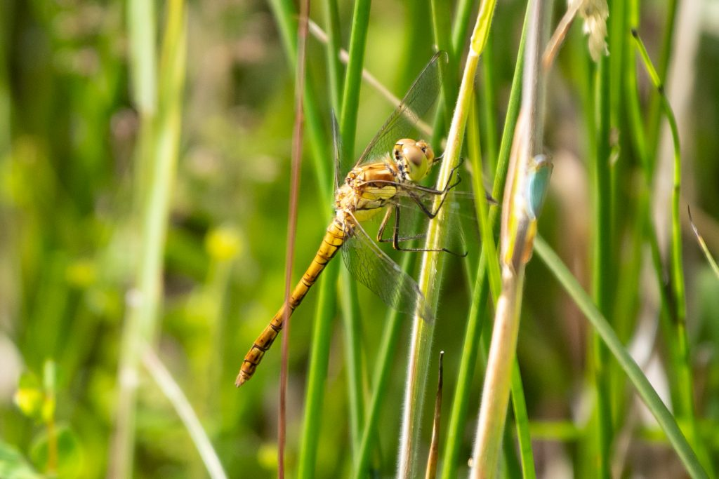 Common darter dragonfly perching