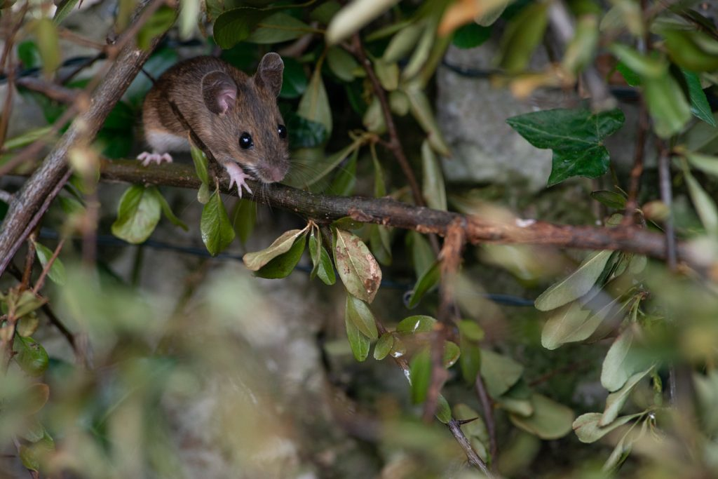 Wood Mouse in a bush