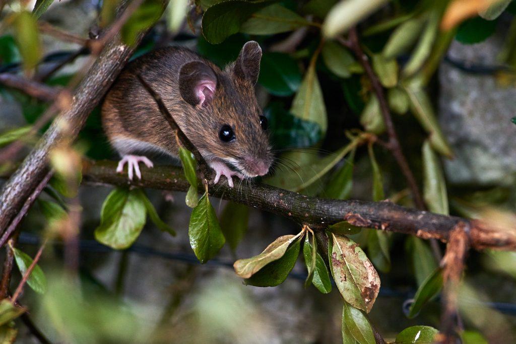 Wood Mouse in an urban garden