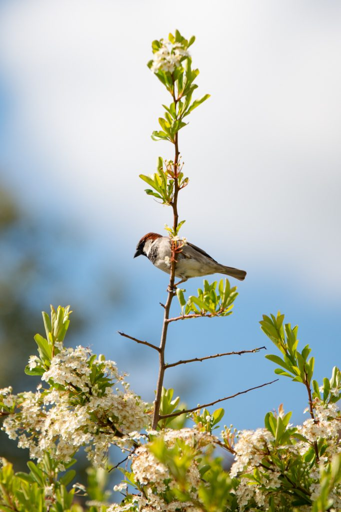 A Male Sparrow perching on a branch of a blossoming tree