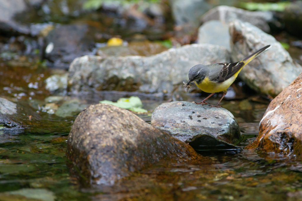 Yellow Wagtail with insects in its beak