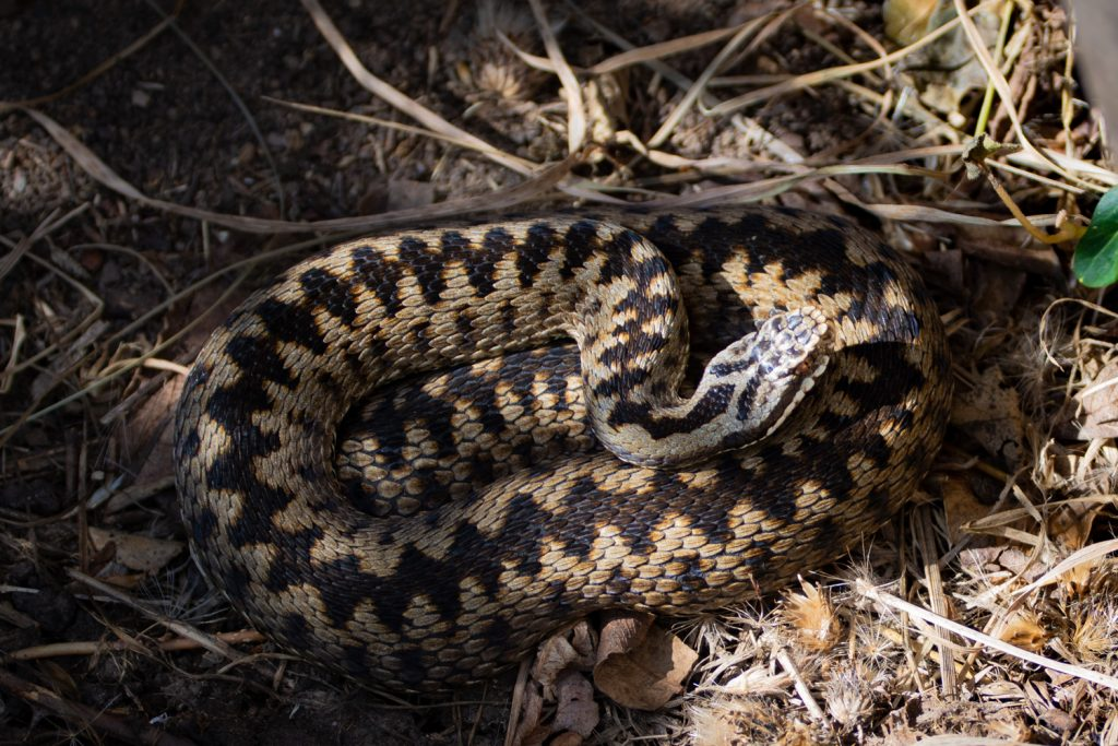 A coiled adder in undergrowth