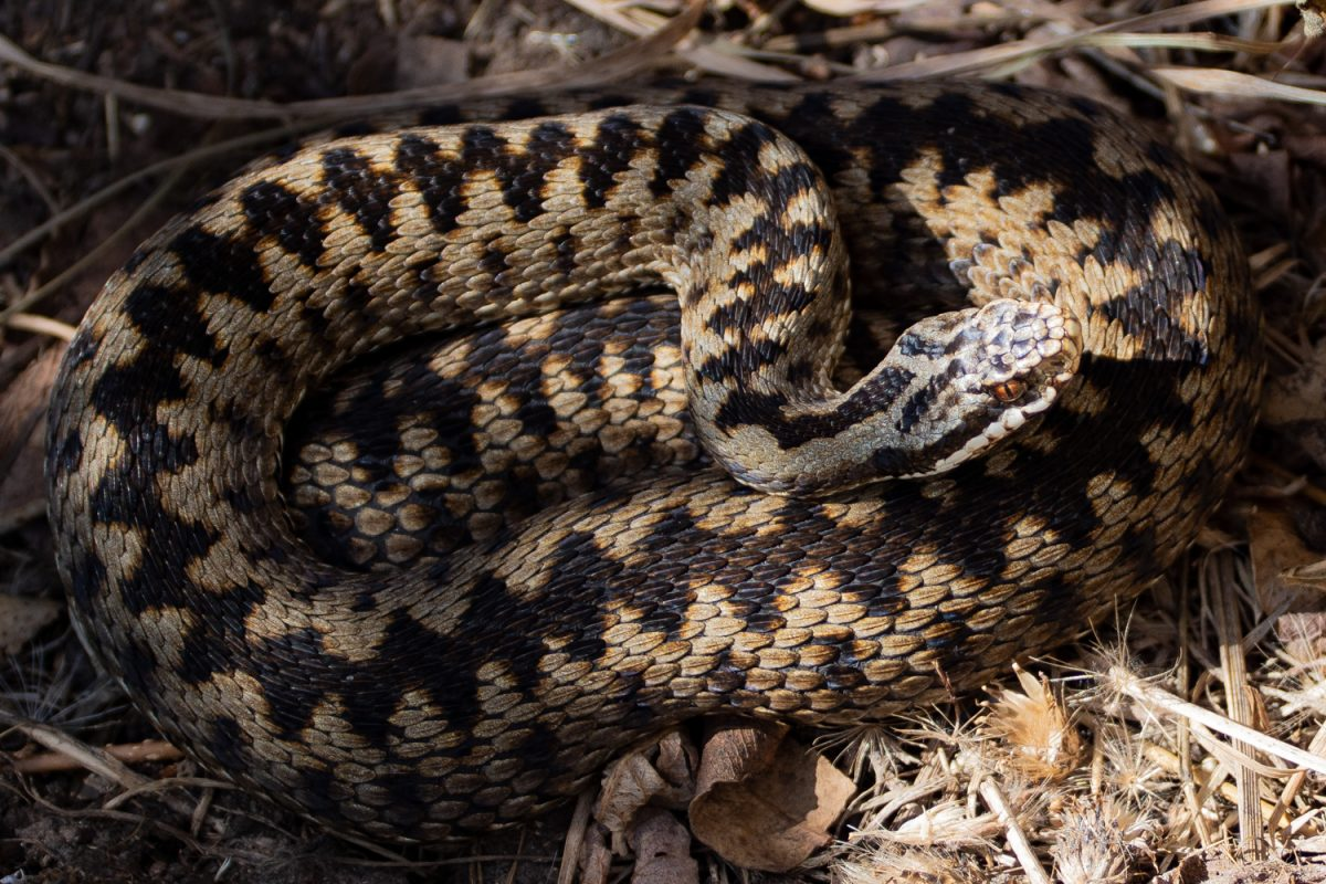 Coiled Adder looking at the camera