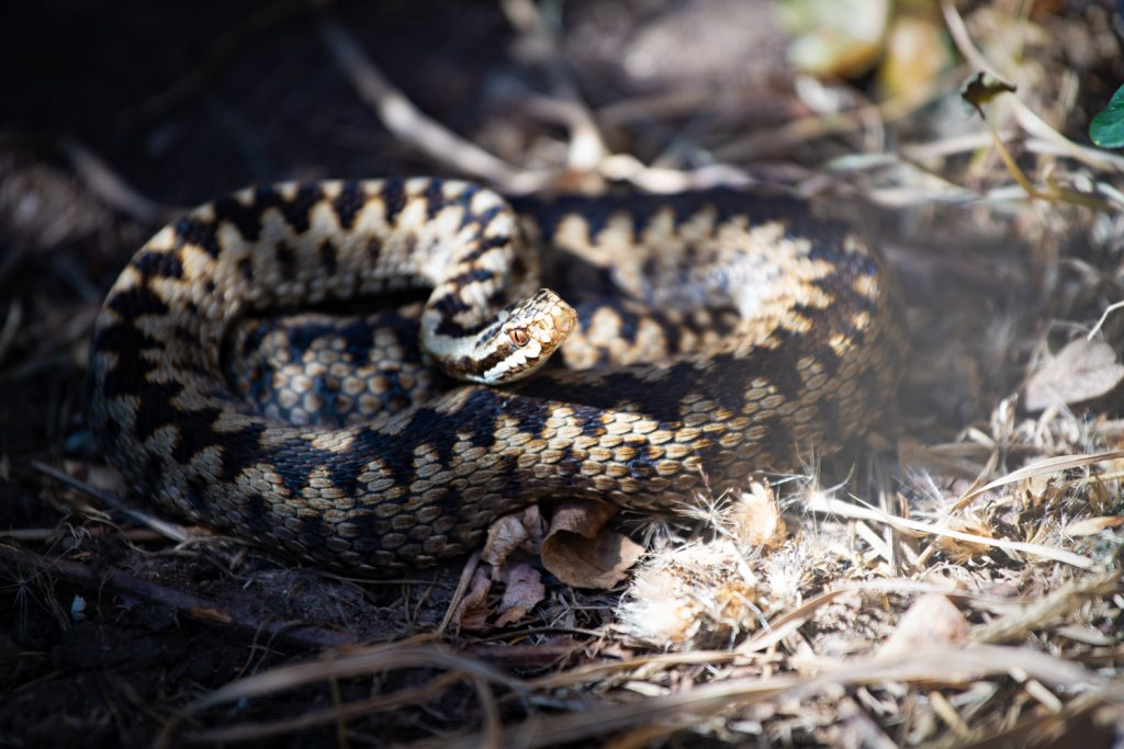 An adder looking at the camera
