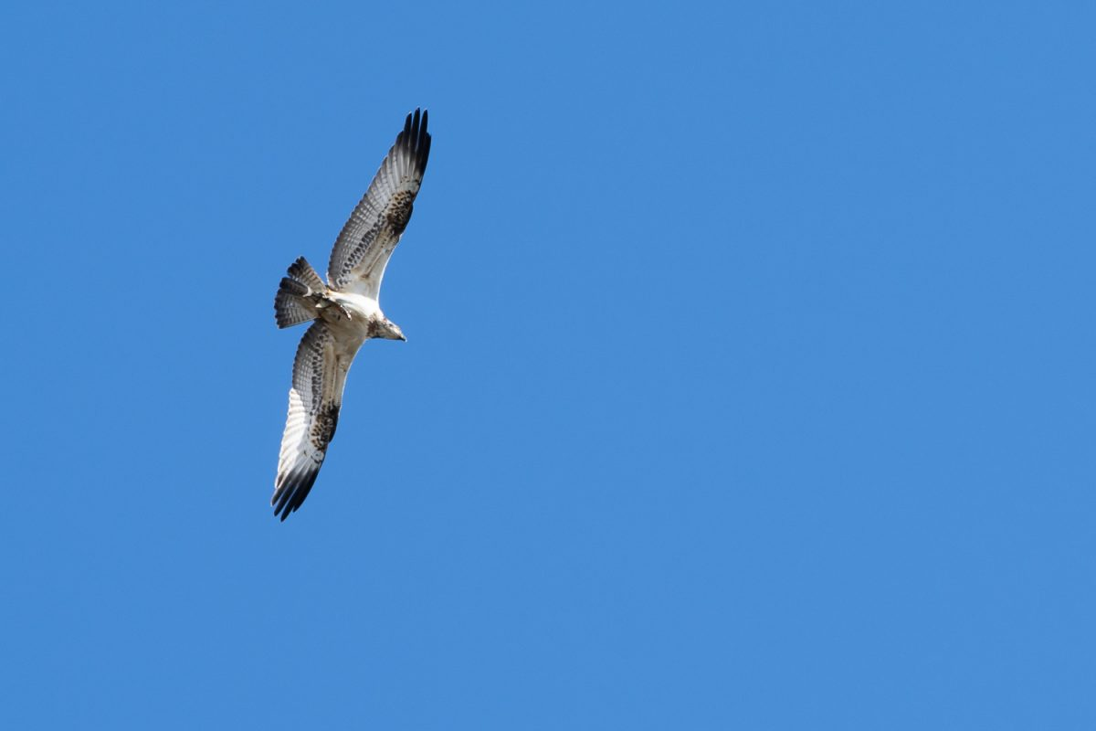 Osprey in Cornwall with a fish in talons
